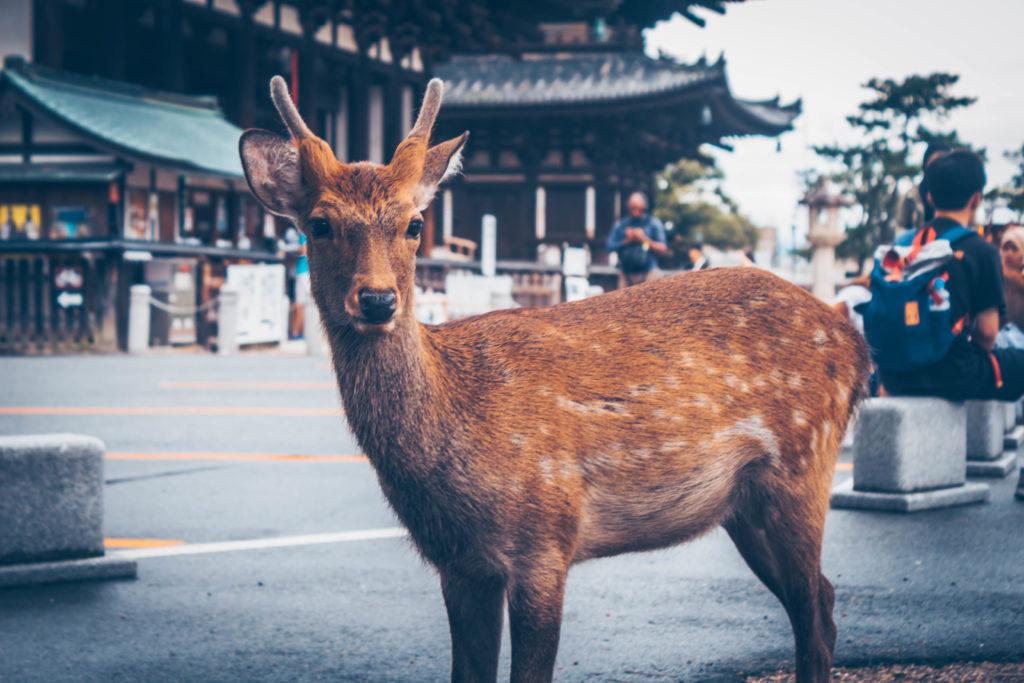 Single, friendly deer in Nara Park, Japan