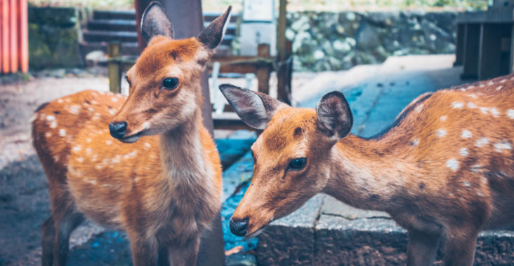 Two deer in Nara Park